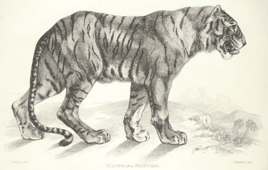 D'après une œuvre de Sir Landseer, planche tirée de Thomas Landseer (1853). Engravings of Lions, Tigers, Panthers, Leopards, Dogs, &c., Chiefly After the Designs of Sir Edwin Landseer, Henry G. Bohn (Londres)