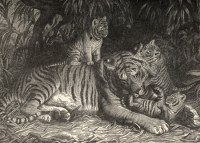 Illustration probablement d'un artiste allemand tirée de Phineas Taylor Barnum (1897). Forest and Jungle: Or Thrilling Adventures in All Quarters of the Globe ; An Illustrated History of the Animal Kingdom, The Werner Company (Chicago)