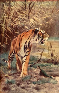 Illustration de Wilhelm Kuhnert (1865-1926) tirée de Davis James Richard Ainsworth (1903). The Natural History of Animals: The Animal Life of the World in its Various Aspects and Relations [volume 1], The Gresham Publishing Company (Londres)