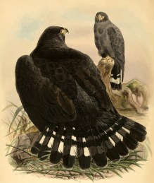Buse à queue barrée (Buteo albonotatus), illustration tirée de Philip Lutley Sclater (1858). On Some New or Little-Known Species of Accipitres in the Collection of the Norwich Museum, Transactions of the Zoological Society of London, 4 (6) : 261-268.