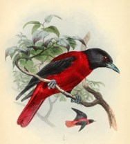 Loriot pourpré (Oriolus traillii), illustration extraite de la revue The Ibis (1862)