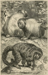 Ouakari chauve (Cacajao calvus) et Pithecia sp., illustration extraite de Henry Walter Bates (1863). The Naturalist on the River Amazons, a Record of Adventures, Habits of Animals, Sketches of Brazilian and Indian Life and Aspects of Nature under the Equator During Eleven Years of Travel. Tome II, John Murray (Londres)