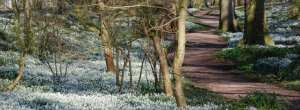 Snowdrops at Burton Agnes Hall, E. Yorkshire