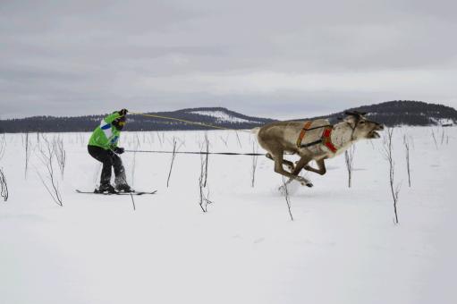 Reindeer Race in Inari