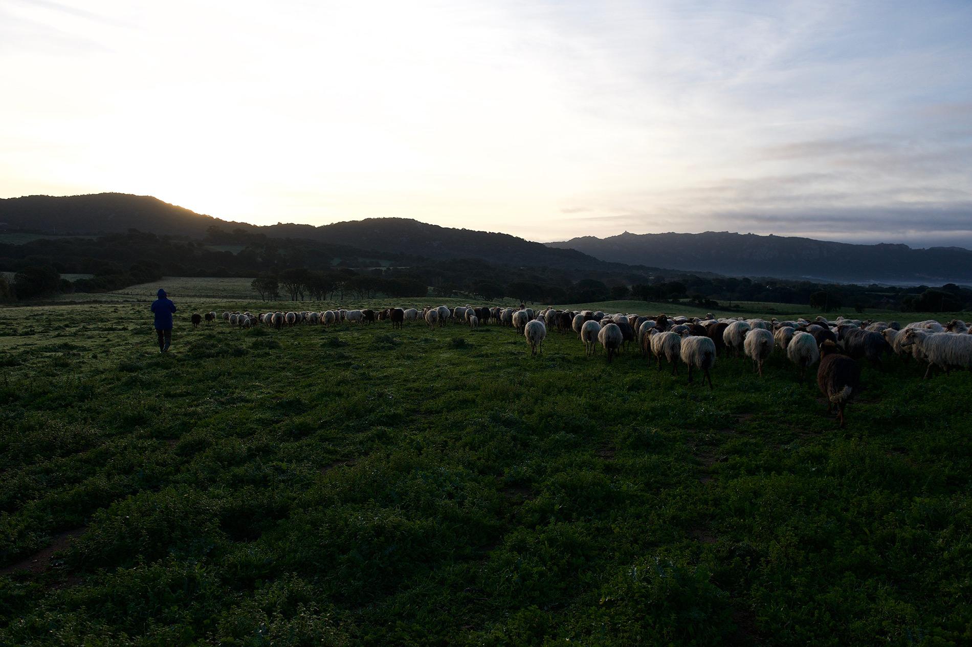 Les brebis de Valicella quittent l'abris de la ferme au matin pour aller pâturer.