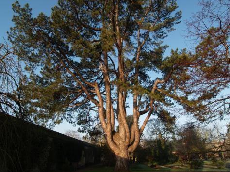Pinus nigra PC111150 copy