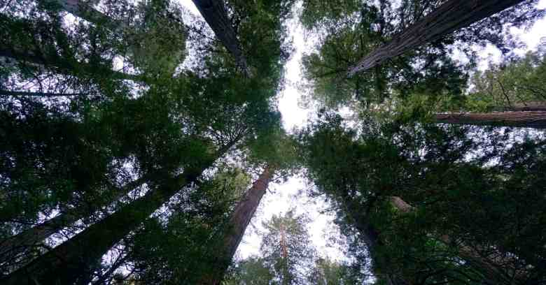 The Best Place to See the California Redwoods Near SF