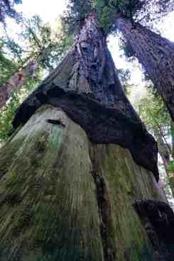 California Redwoods - Girdled Tree