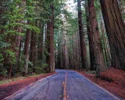 California Redwoods - Highway 101