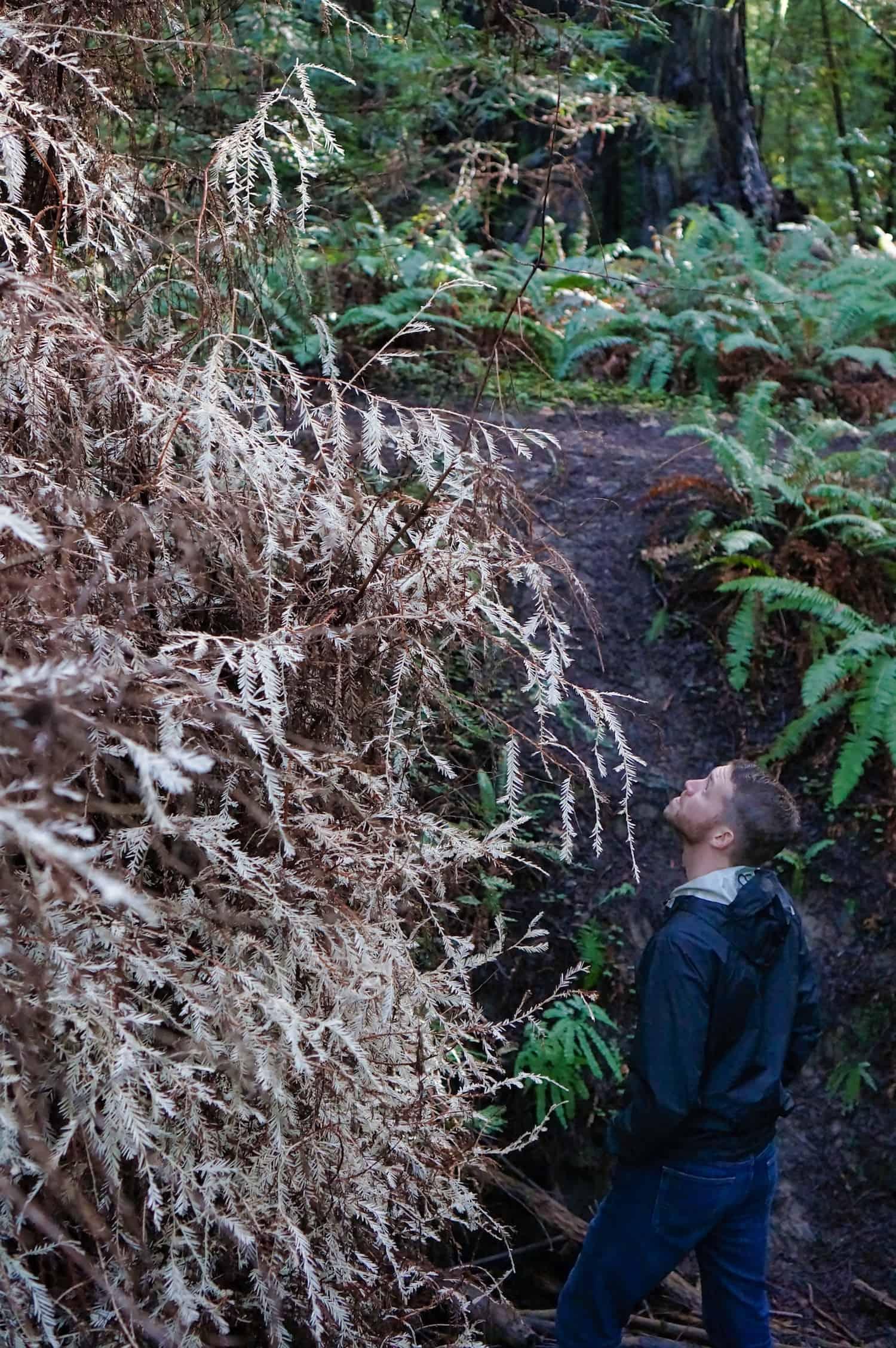 Redwoods near San Francisco - Albino Redwoods