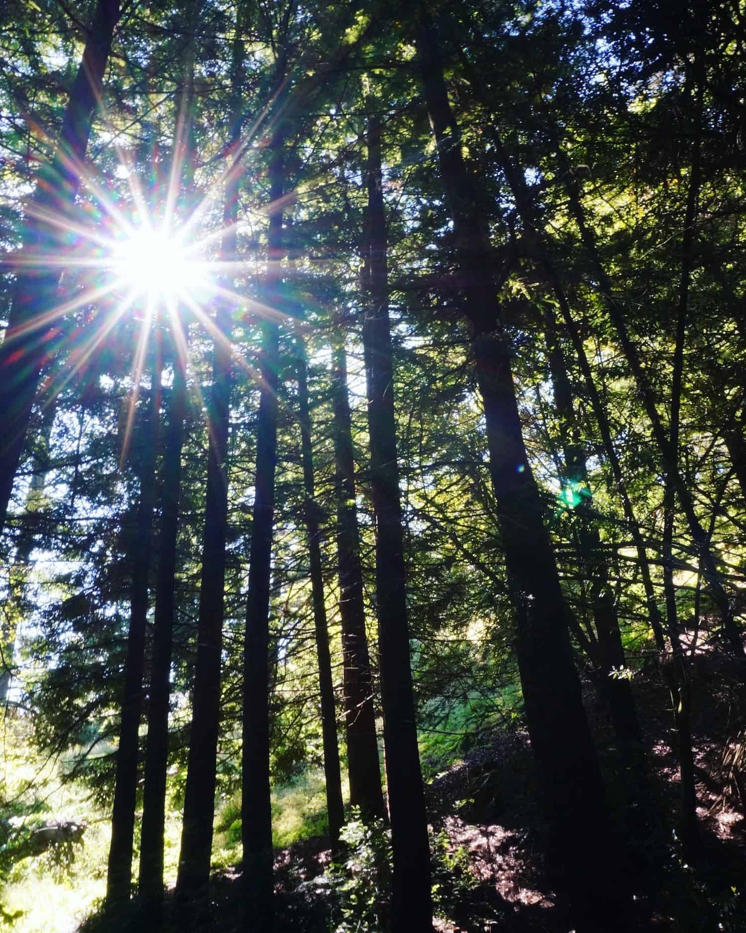 Redwoods near San Francisco - Redwoods Regional