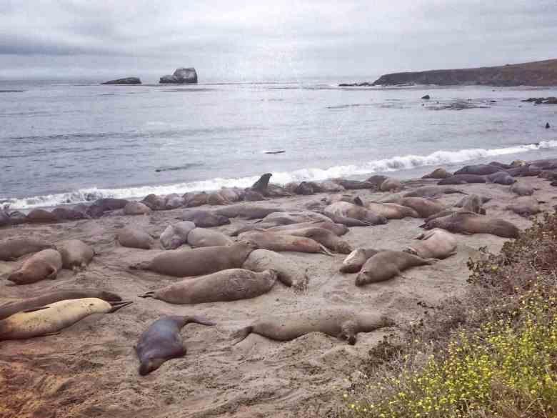 PCH Stops - Elephant Seal Beach