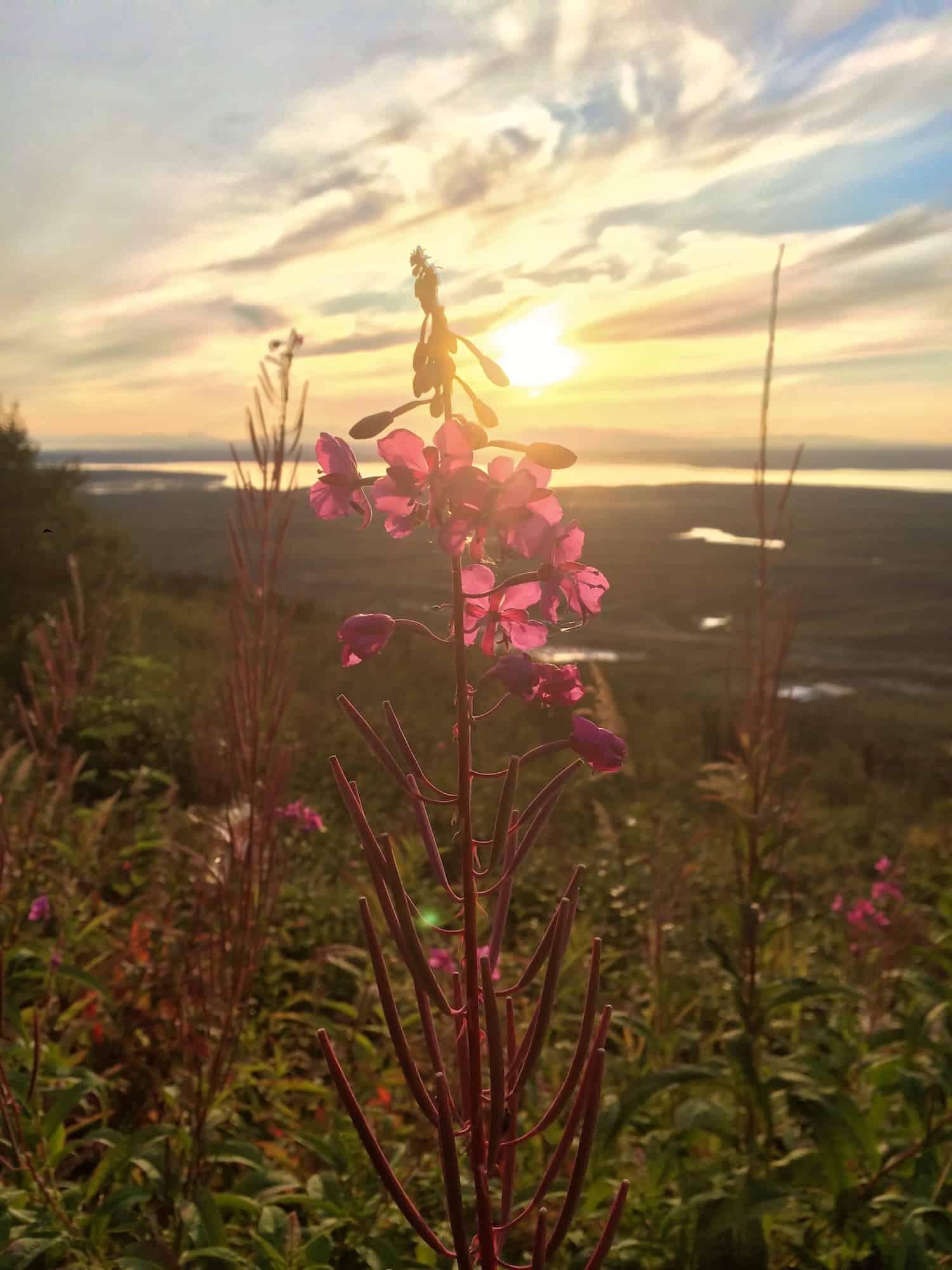 Alaska in Autumn - Fireweed