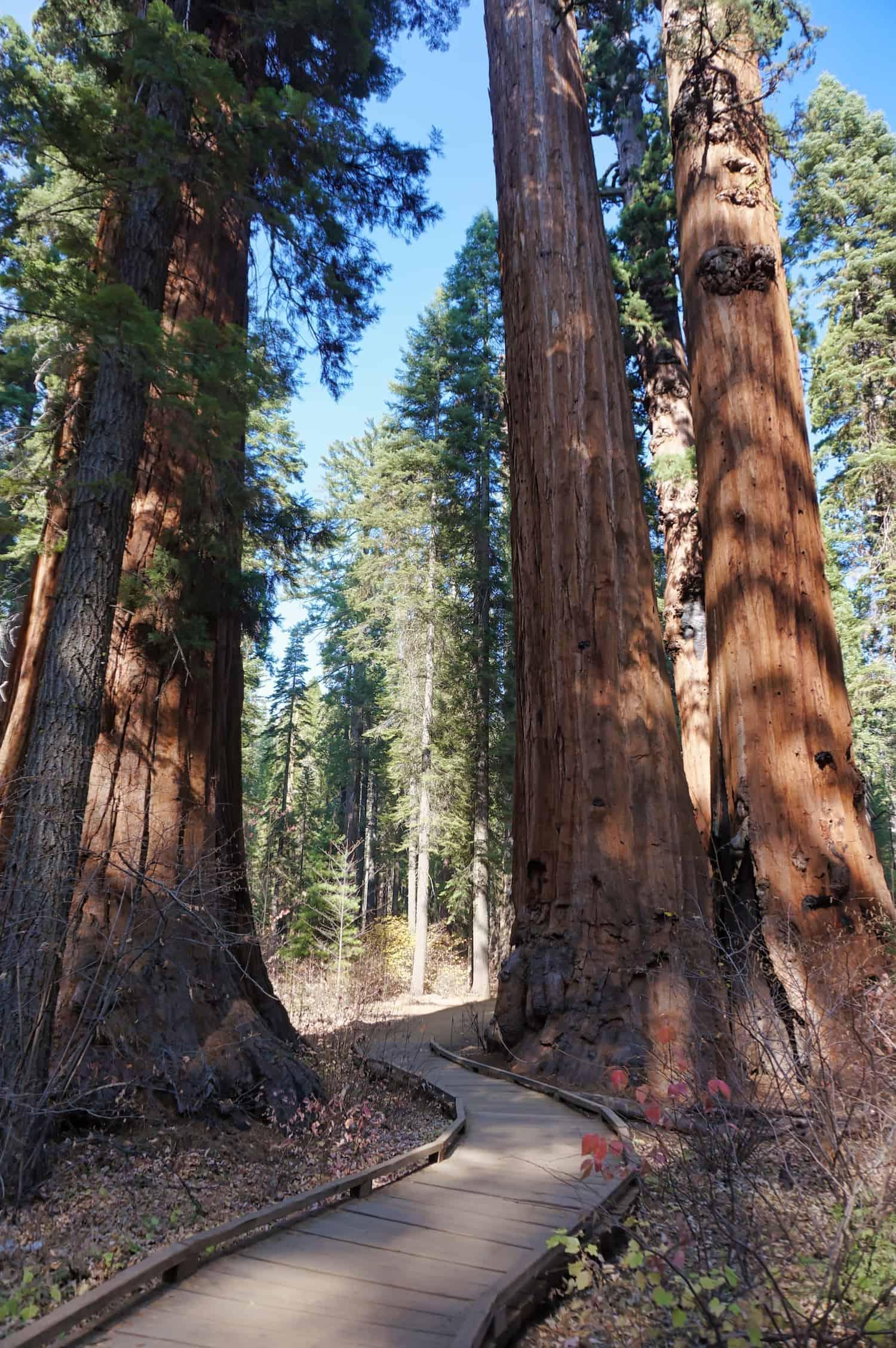 Redwoods Road Trip - Calaveras Redwoods - Path through Redwoods