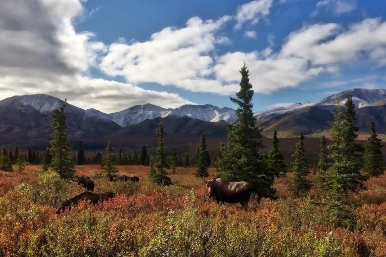 Denali National Park - Moose