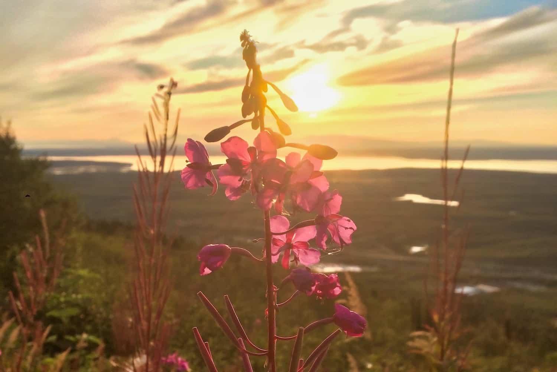 Alaska - Fireweed