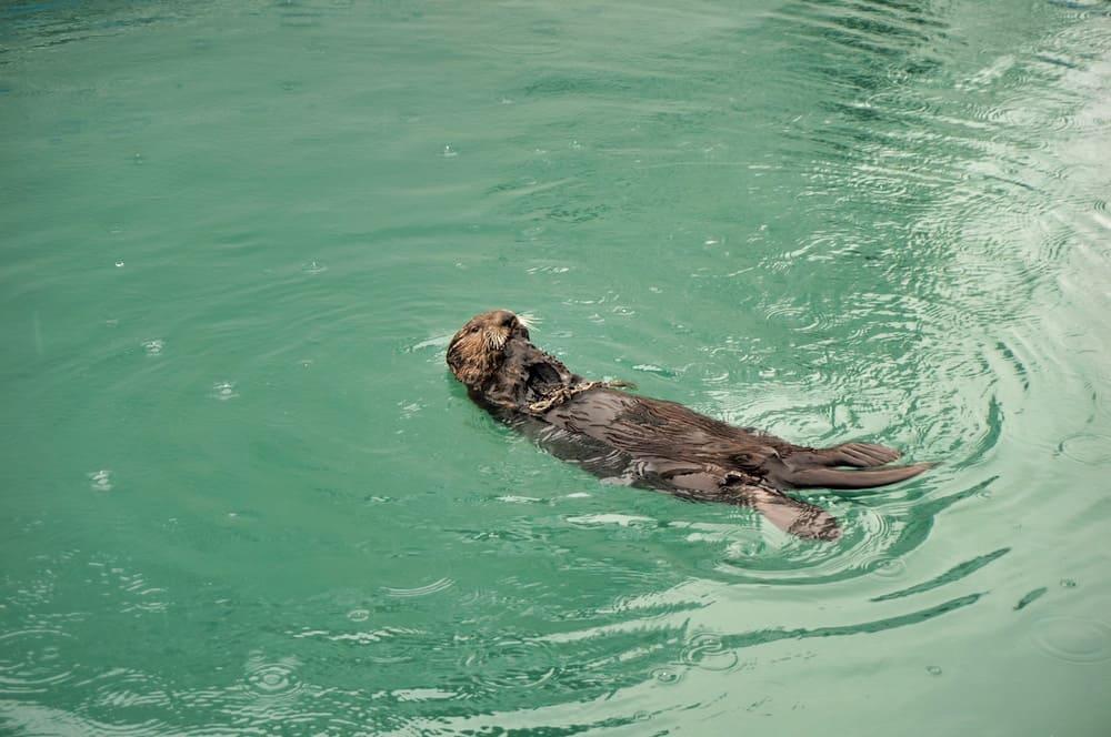 Alaskan Sea Otter in Seward