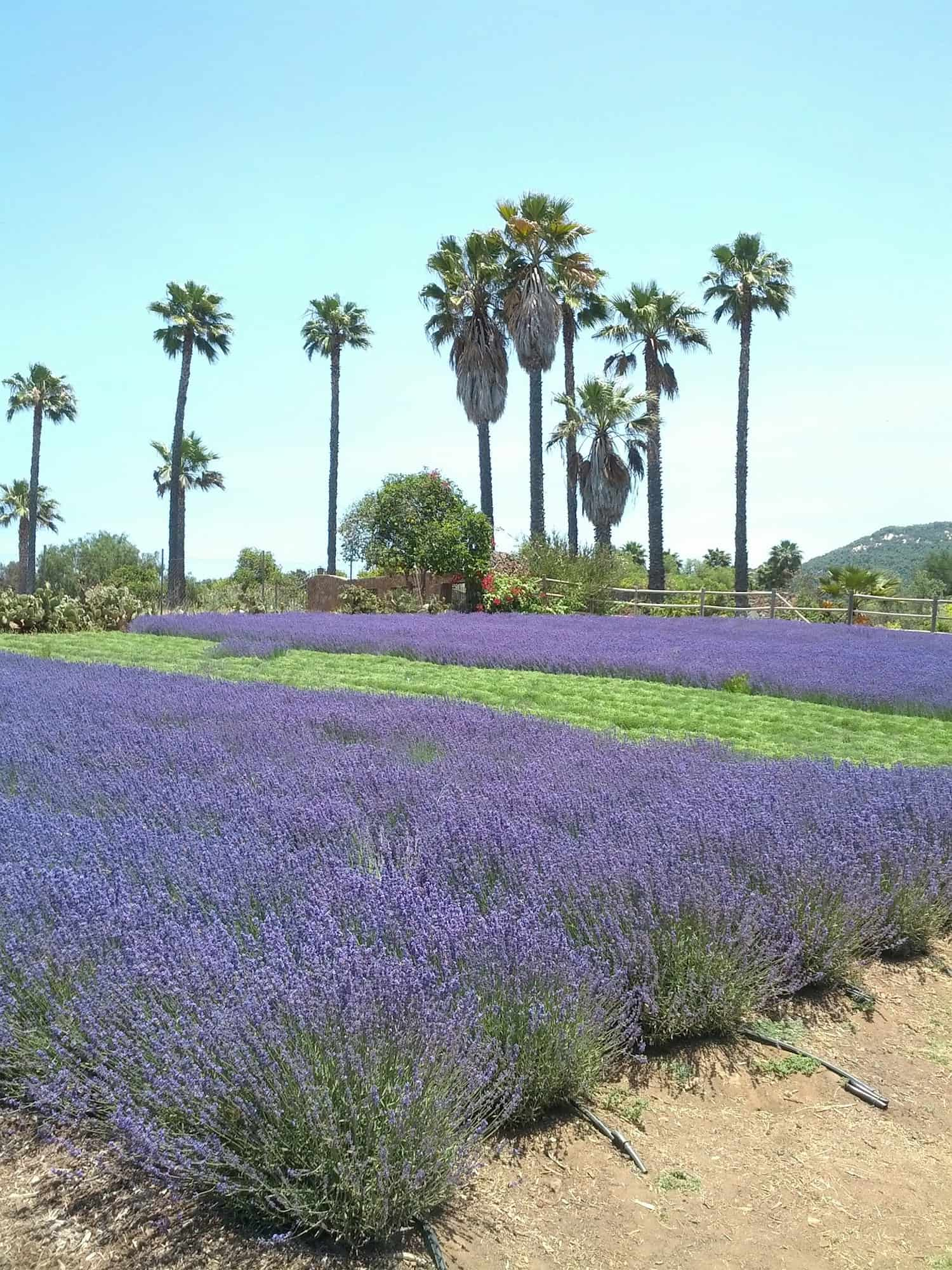 Lavender field with Palm Trees