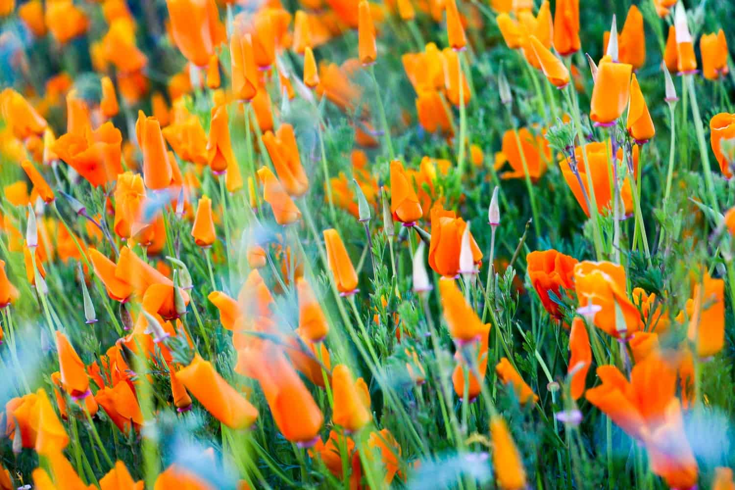 Field of California Poppies that haven't opened yet