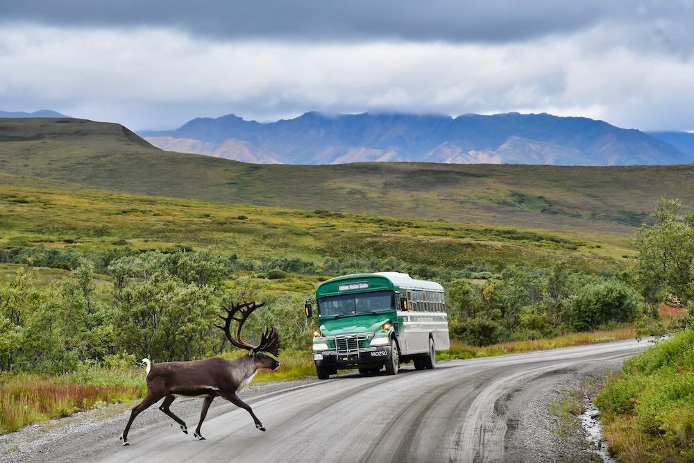 John Hall's Alaska Review - Day 4 - Denali Park Drive - Caribou Crossing