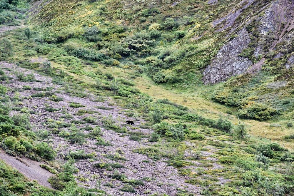 John Hall's Alaska Review - Day 6 - Bears in Denali