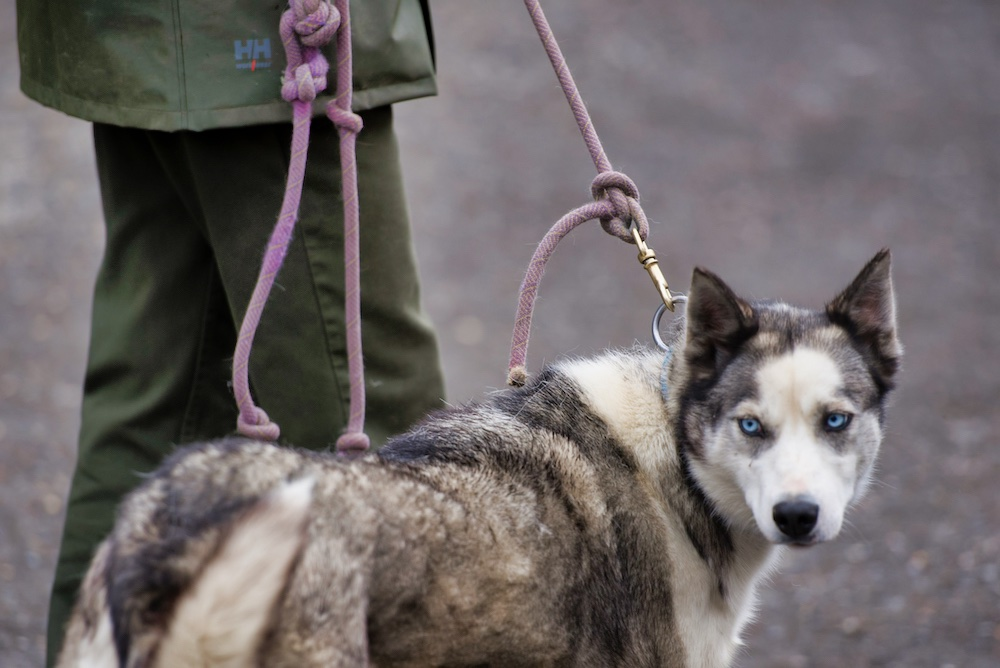 Denali National Park Itinerary - Sled Dogs