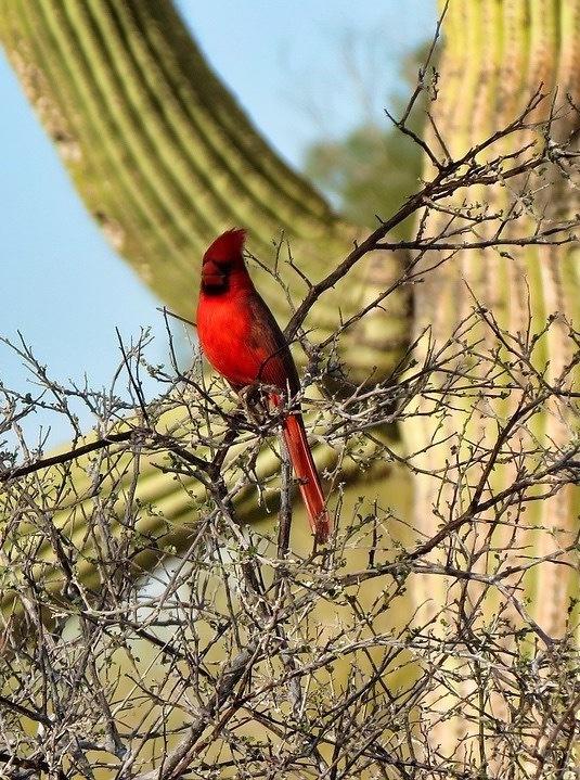 Saguaro National Park Itinerary - Cardinal and Cacti