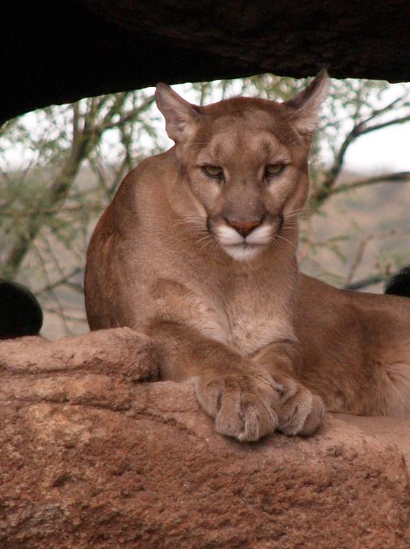 Sonoran Desert Museum - Mountain Lion - Jöshua Barnett via Flickr