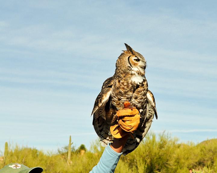 Sonoran Desert Museum - Owl - BFS Man via Flickr
