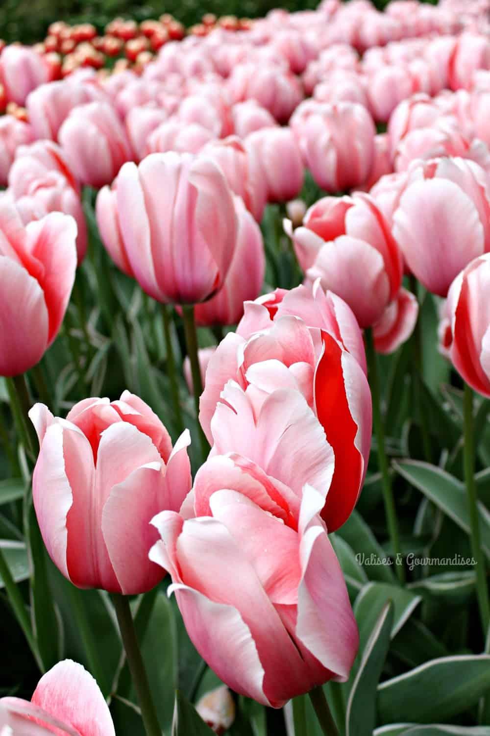 Tulips at Keukenhof, Netherlands