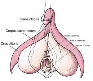 clitoride-anatomia