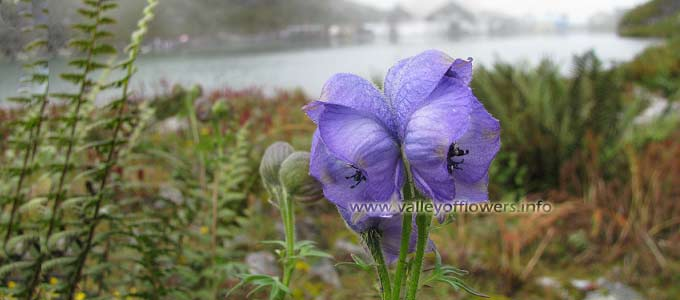 Aconitum-violaceum in valley of flowers