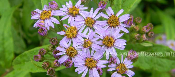 Aster Albescens in Valley of Flowers