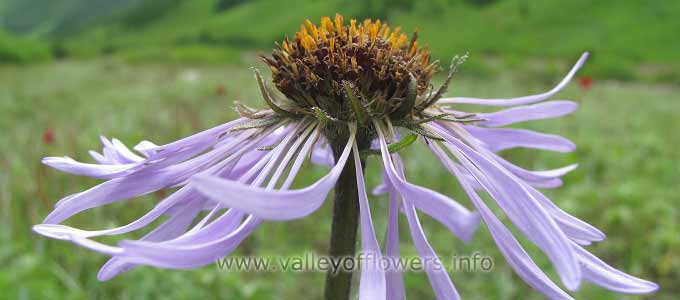 Aster Diplostephioides in Valley of Flowers