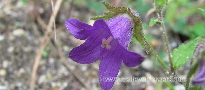 Campanula Pallida in Valley of Flowers