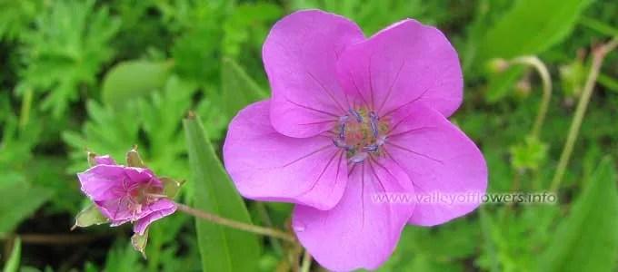 Geranium-collinum in Valley of flowers