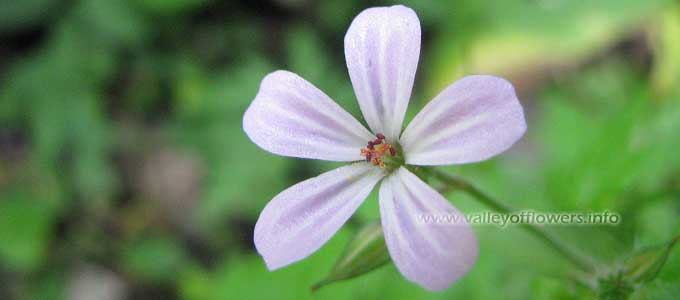 Geranium-robertianum, Herb Robert, Red Robin,