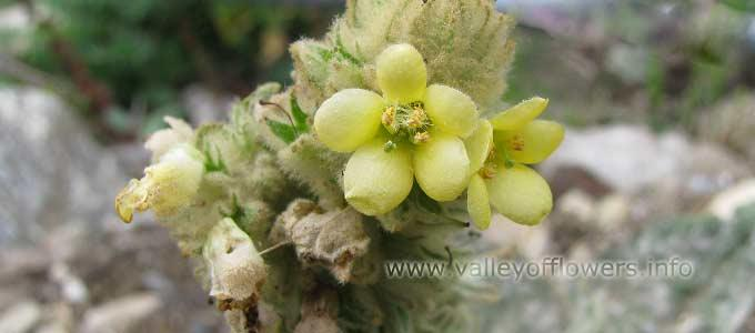 Verbascum Thapsus in Valley of Flowers