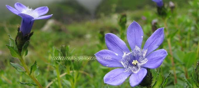 Cyananthus-Microphyllus in valley of flowers