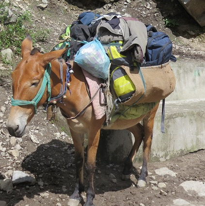 Pony Carrying luggage. it can carry 4-5 bags easily.