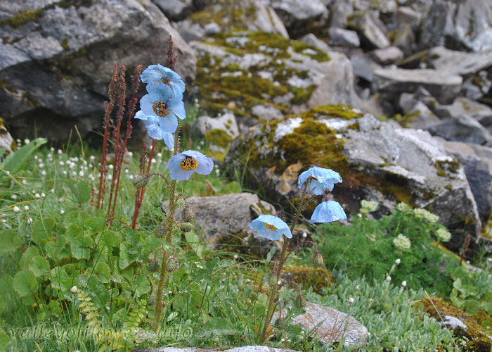 Blue Poppy near Hemkund Saheb