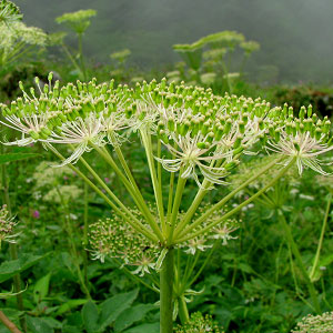 Heracleum candicans