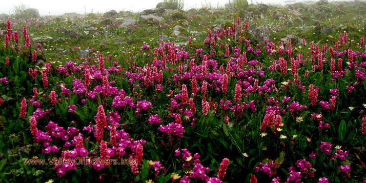 Valley of flowers piture gallery and wallpaper: Bistorta Affinis and  Pedicularis punctata at Hemkund Sahib