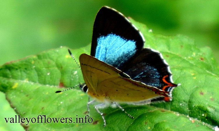 Beautiful Butterfly found near Valley of Flowers
