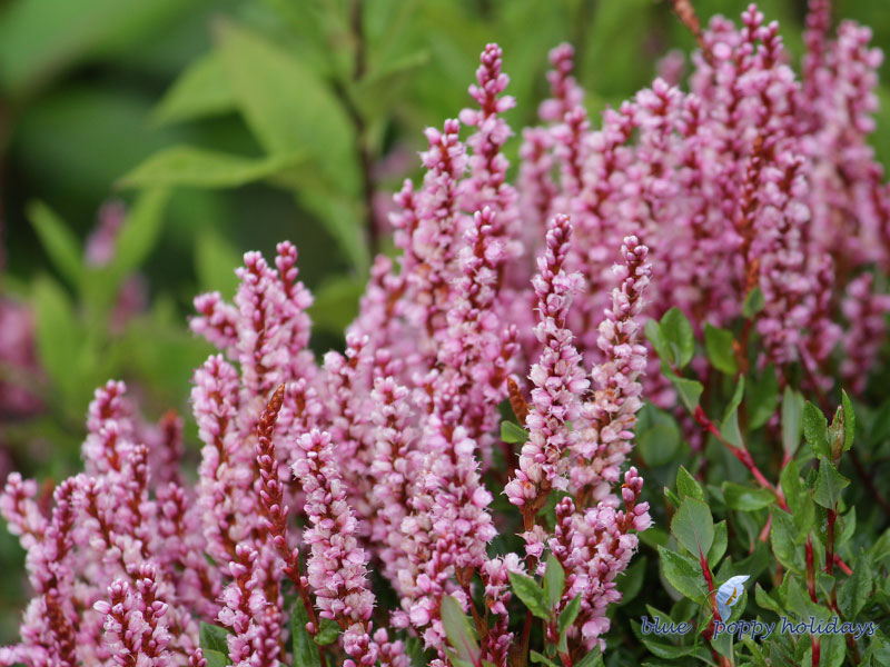 The following flower is Bistorta vaccinifolia yes it looks wild but it is majestic it is an herb with woody stock and tufted trailing stem. Leaves are elliptic, narrowed at both the ends. Flowers are pink, long, clustered in terminals. Stamens are 8 with unequal filaments