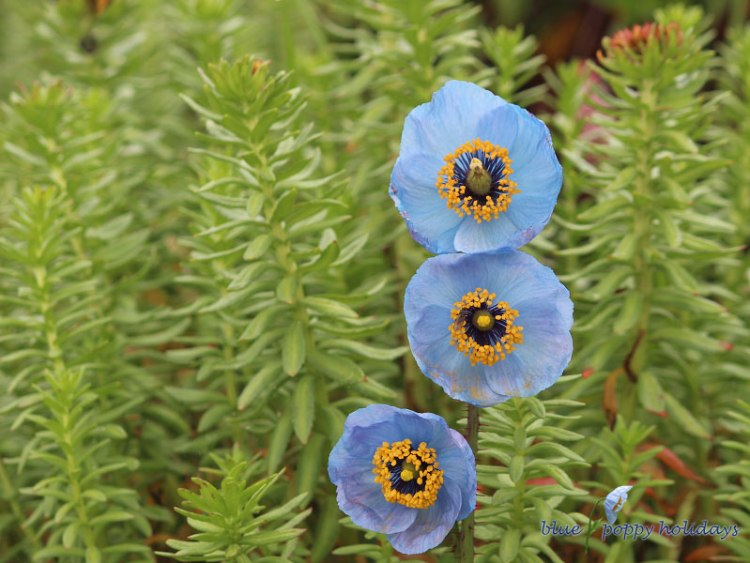 This was the first flower that fascinated us so much towards it that we named our Company Blue Poppy Holidays and so began a dream .The enchanting Blue Poppy (Meconopsis) creates a spectacular show in the late spring and early summer. Such a rich true blue flower is a rare garden treasure.