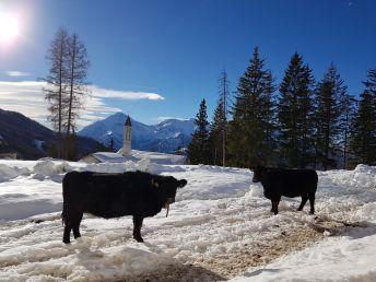 Mucche all'alpeggio (1)