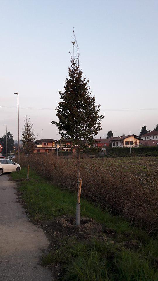 nuovi alberi rosta