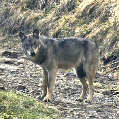Incontro con lupo