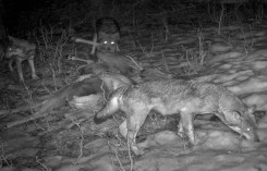 Massimo Rosso tre lupi su cervo daguet